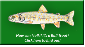 Bull Trout Identification