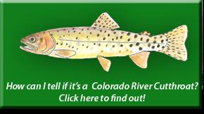 Colorado River Cutthroat Identification