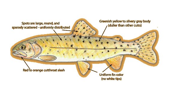 Bonneville Cutthroat