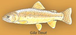 Gila Trout