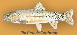 Rio Grande Cutthroat