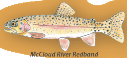 McCloud River Redband